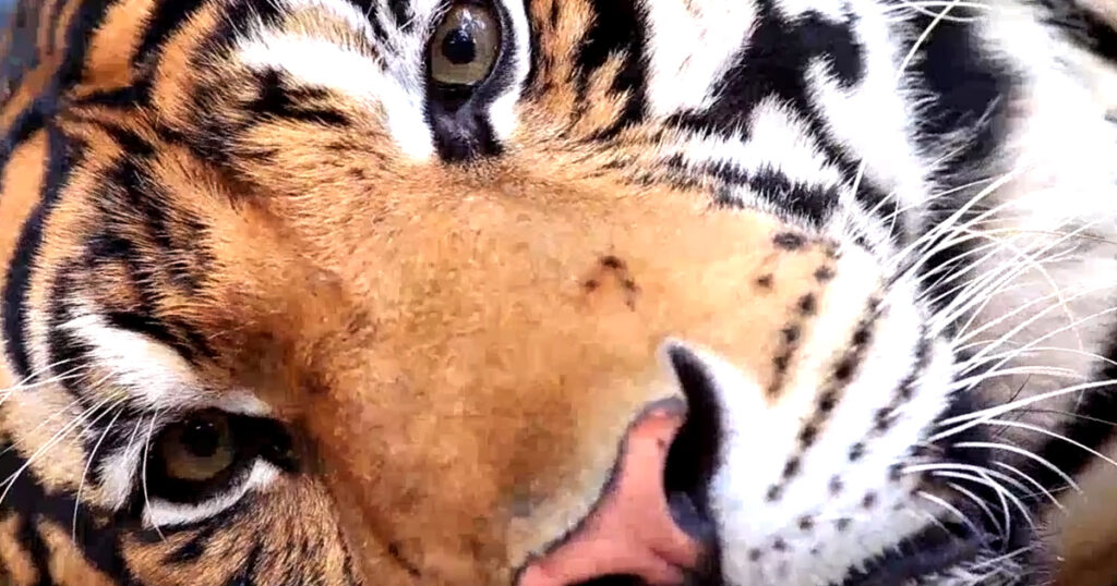 World Tigers Day 2020
